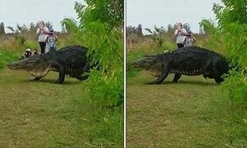 ตะลึง! แอลลิเกเตอร์ตัวใหญ่ยักษ์ในฟลอริด้า เดินชิลล์ไม่สนคนมุง