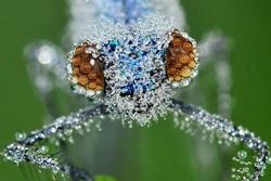โคสอัพ! แมลงปอกับน้ำค้างแข็งกลางฤดูหนาว