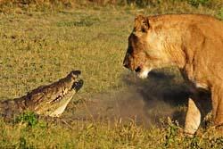 อึ้ง! วินาที สิงโต ปะทะ จระเข้