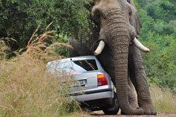 ระทึก! ช้างป่าแอฟริกาตกมัน พังรถนักท่องเที่ยว
