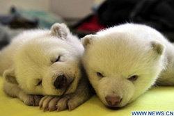 เผยโฉม! หมีขั้วโลกแฝดตัวผู้-ตัวเมียคู่แรกของจีน