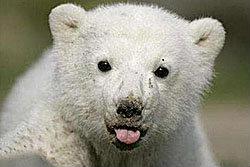 ไม่สนคนต้าน! เดินหน้านำหมีขั้วโลกแสดงเชียงใหม่