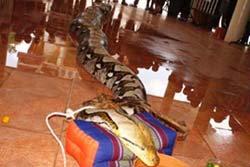 อึ้ง! งูเหลือมยักษ์เขมือบหมาเกือบเกลี้ยงวัด