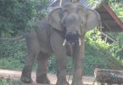 สลด! ช้างตกมันใช้งาแทงควาญดับสยอง