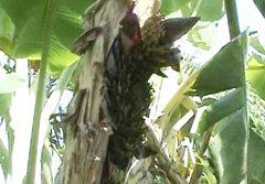 ฮือฮา! แห่ดูต้นกล้วยออกปลีเป็นพญานาค