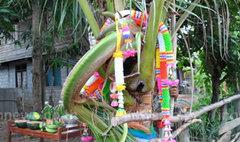 ชาวบ้านแห่ขอหวยต้นมะพร้าวใบคล้ายหัวช้าง