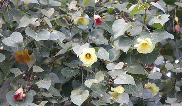กรุงเก่าฮือฮาต้นโพธิ์ออกดอกสองสี รับวันออกพรรษา