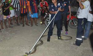 ชาวบ้านพบงูจงอางในบ้านยาวเกือบ 4 เมตร
