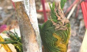 ชาวเลยฮือฮา! ต้นหมากแดงลำต้นหัวพญานาค