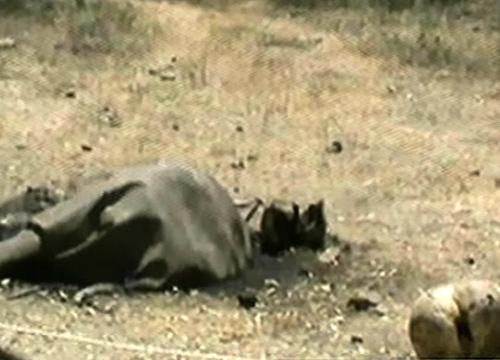 ฆ่าช้างตัดหัวเอางาแก่งกระจาน-ชัยวัฒน์คาดมีใบสั่ง
