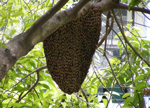 ผึ้งหลวงบุกโรงเรียนเฉลิมขวัญสตรีพิษณุโลก