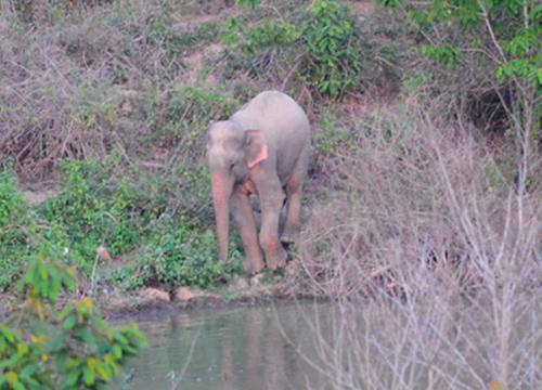 ผวจ.เพชรบุรีเผยไม่เห็นช้างลักษณะพิเศษอีก