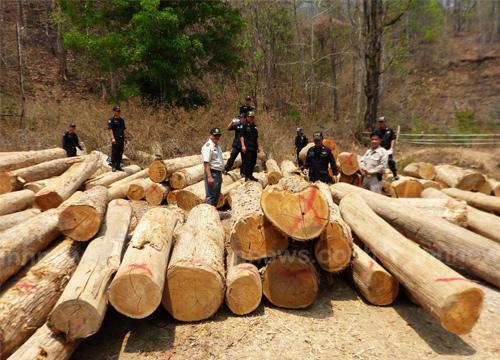 ป่าไม้แม่ฮ่องสอน เปิดยุทธการกวาดล้างมอดไม้
