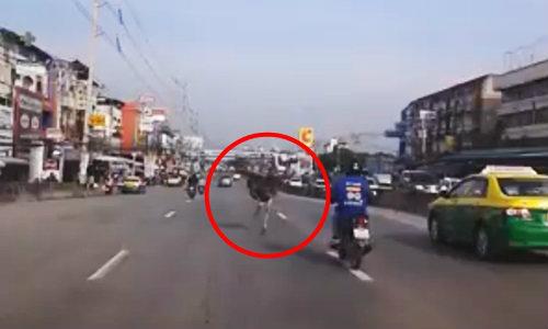 ชาวบ้านตกใจ! นกกระจอกเทศโผล่วิ่งถนนย่านบางพลี