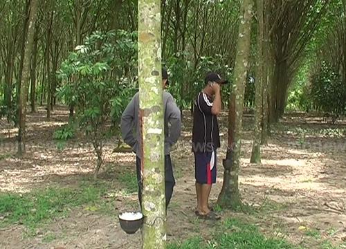 ราคายางตก ชาวสวนหันมาเลี้ยงหมูป่า