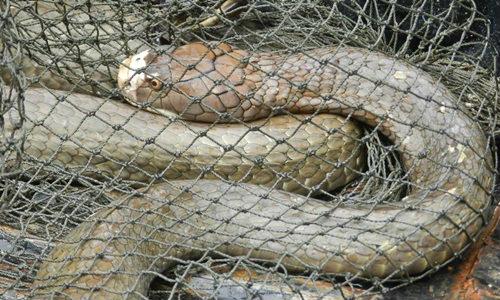 ผงะ! งูจงอางตัวใหญ่ติดไซ ยาวกว่า 3 ม. เชื่องูเจ้าที่