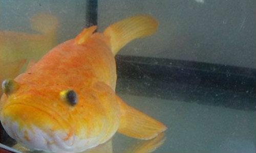 """พบ """"ปลาบู่สีทอง"""" เจ้าของเผยตั้งแต่เลี้ยงมาค้าขายขึ้น"""
