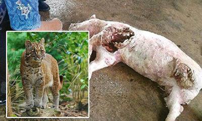 เสือไฟบุกกินหัวใจหมู ปศุสัตว์ชี้ไม่อันตราย-กลัวคน