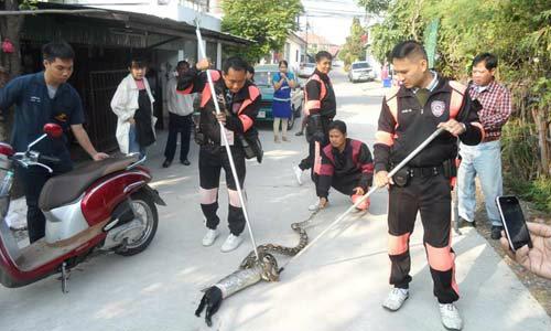 งูเหลือมหิวโซ เขมือบแมวดำตัวนำโชคทั้งตัว