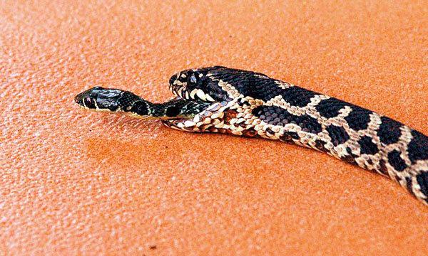 ′งู′ หนีรอด จากท้อง′งู′!