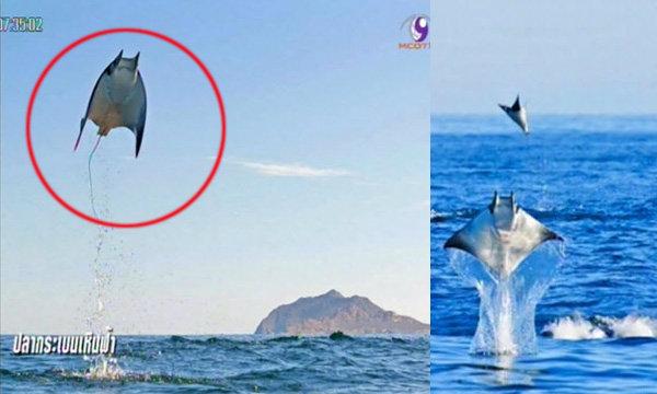 ช่างภาพแชะรูปปลากระเบนเหินฟ้าได้ในเม็กซิโก