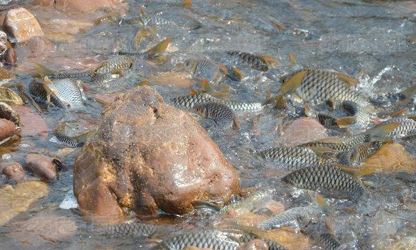 """ฮือฮา!! ปรากฏการณ์ """"ปลากอง"""" ปลาปีกแดงนับหมื่น-แสนตัว ผสมพันธุ์-วางไข่"""