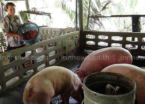 ปาล์มราคาตกเกษตรกรใช้เลี้ยงหมู
