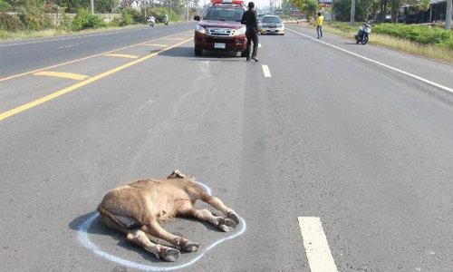 ดราม่าสัตว์! ลูกควายถูกรถชนล้มตึงเหมือนตาย ตร.ทำแผน-ลุกหาแม่เฉย