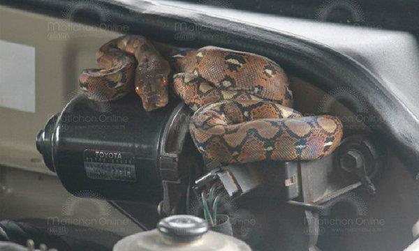 เปิดฝากระโปรงรถ ตกใจหมดเลย ! เจอ′งูเหลือม′ซุกห้องเครื่อง