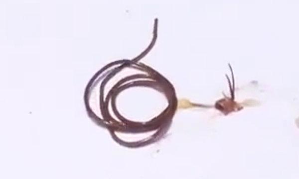 อ.เจษฎา ชี้แจง พยาธิตัวยาวจากแมลง ไม่เป็นอันตรายกับคน