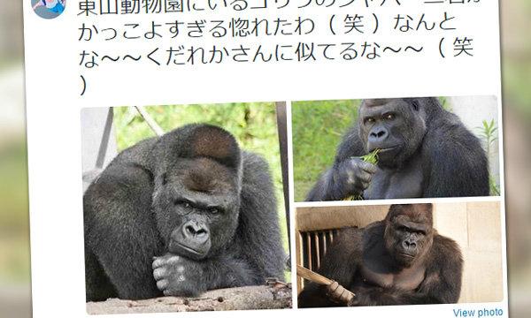 Shaabani กอริลาหนุ่มที่สาวญี่ปุ่นยกให้ว่า หล่อใจละลาย