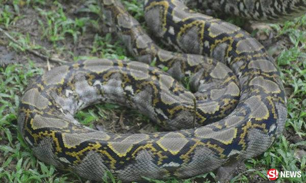 หวิดวุ่น! งูเหลือมใหญ่ 5 ม. เลื้อยเข้าโรงเรียนดังเมืองตรัง