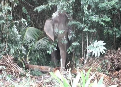 ช้างป่าทำลายพืชผลชาวท่าใหม่เสียหาย20ไร่