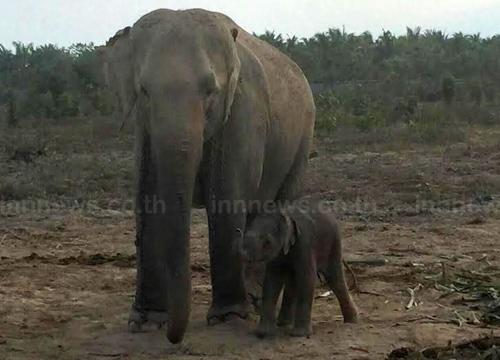 สวนนงนุชพัทยานำช้างเเสนรู้ซ้อมปั่นเพื่อพ่อ